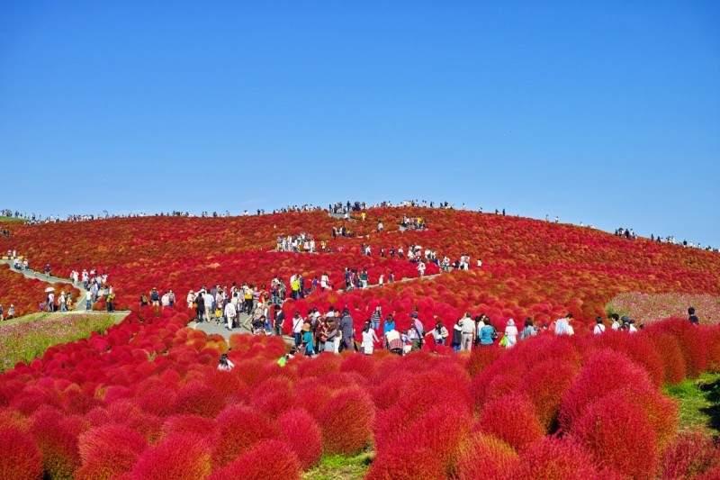 Холмы кохии в Хитачинаке