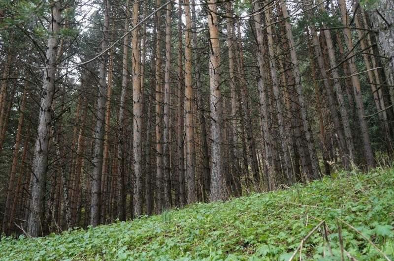 Сосновый бор в горах Заилийского Алатау