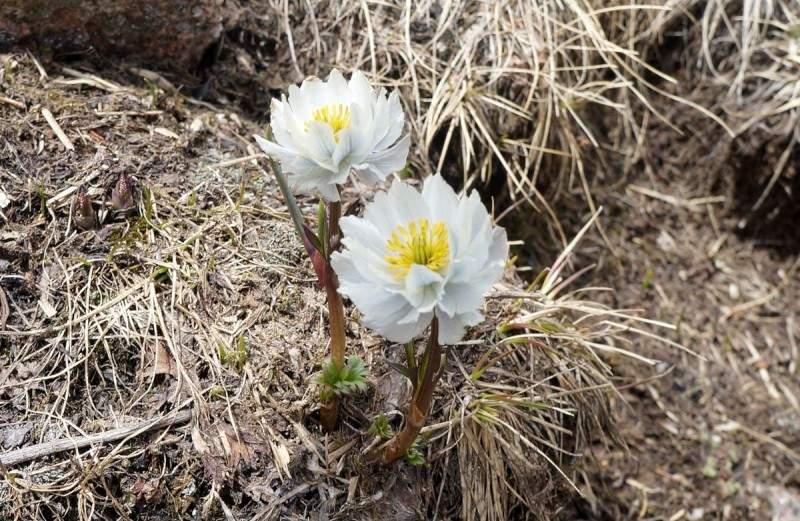 Альпийская роза в горах Заилийского Алатау