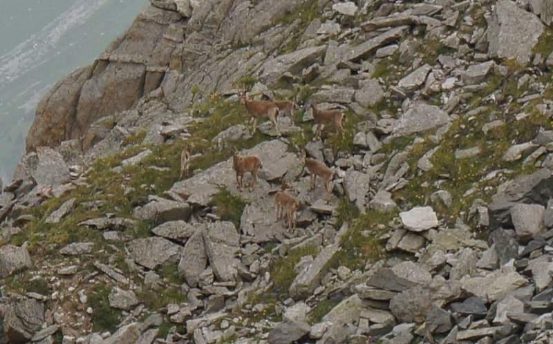Тау теке (горные козлы) в горах Заилийского Алатау