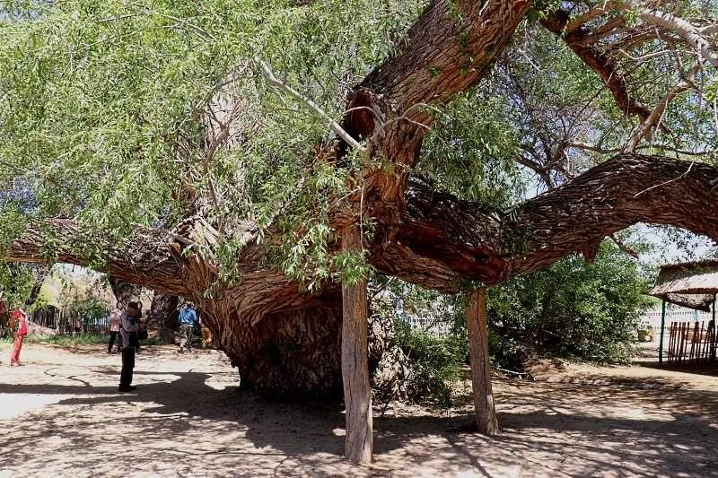 700-летняя ива в Алтын Эмеле